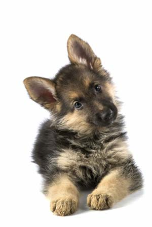 beautiful puppy of a German shepherd