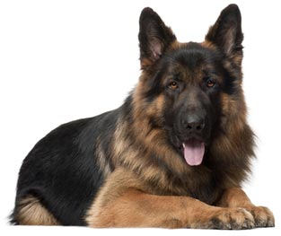 beautiful german shepherd lies on a white background