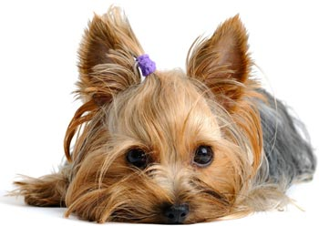 beautiful puppy yorkshire terrier